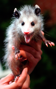 Image of a juvenile opossum exhibiting characteristic hissing defense behavior after being injured. - CC Wikipedia
