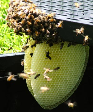 Bees, Beehives, Houston Bee Control, Removing Bees, Bee Swarms